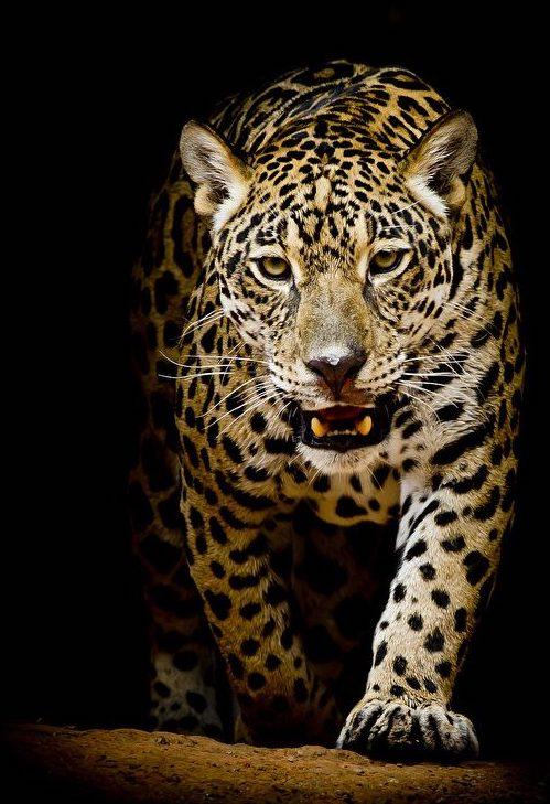 Big_cats_Leopards_Black_background_534034_1024x1024-1024x750